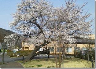 4,16桜全