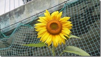 9,3向日葵